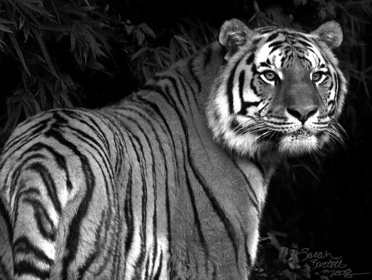 Tiger HD Wallpaper Wide