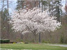 Yoshino Cherry Tree - same as gifted to the US by Japan