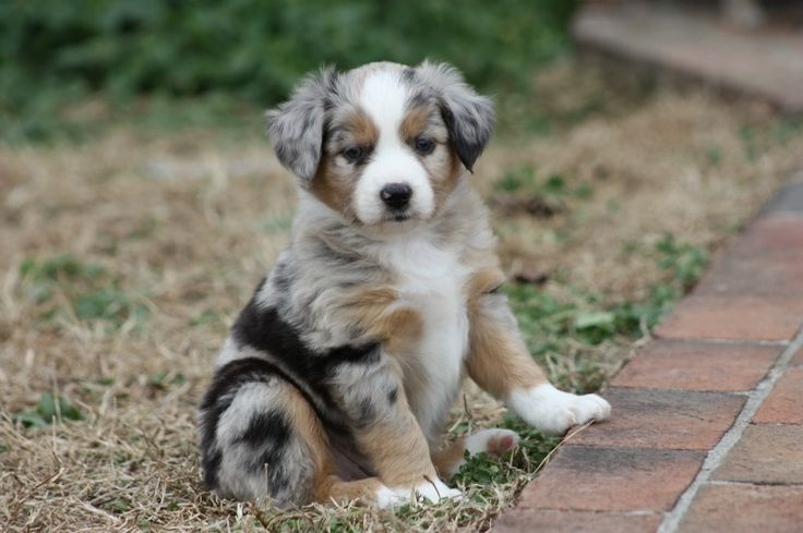 Miniature Aussie Merle Female