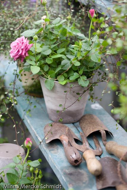 Rusty garden tools potted roses on weathered bench
