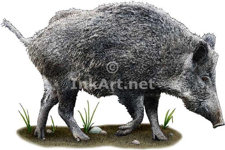 Full color illustration of a Wild Boar (Cervus elaphus)