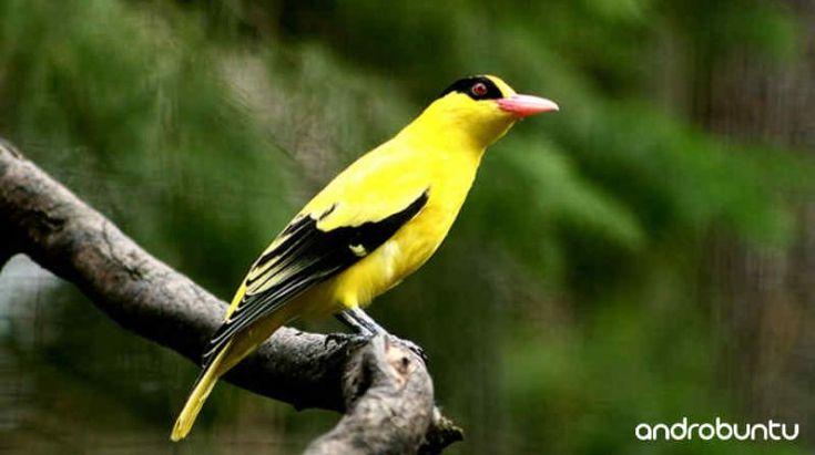 Download Suara Burung Kepodang Gacor Durasi Panjang Untuk Masteran Burung Hewan Bulu