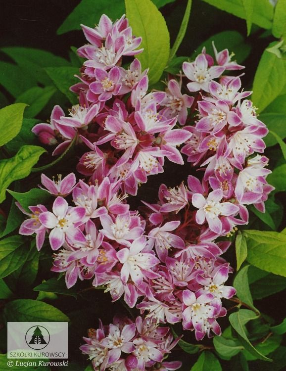 Deutzia x hybrida 'Strawberry Fields' - Żylistek mieszańcowy 'Strawberry Fields'