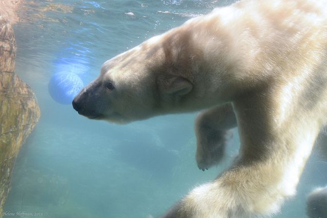 Polar Bear Underwater Encounter