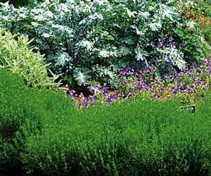 14 plantes pour bordures la santoline jardin de cur for Plante pour bordure dallee