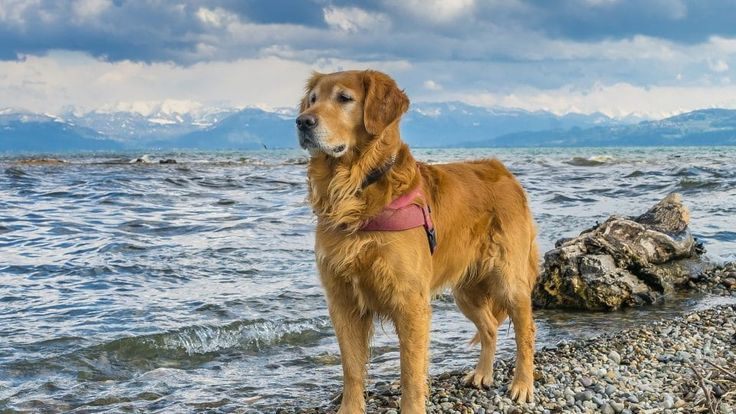 Golden retriever grooming the essential guide with
