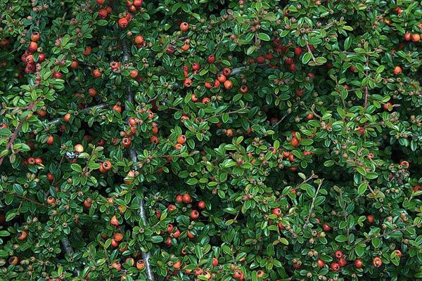 cotoneaster coral beauty dark green leaves low growing shrub with interesting fruit in the. Black Bedroom Furniture Sets. Home Design Ideas