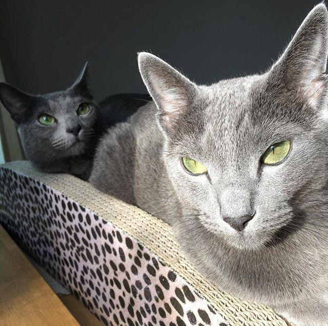朝の光合成中 綺麗なエメラルドグリーンの目  #cats #双子 #ロシアンブルー  #愛猫 #エメラルドグリーン  #カッコつけてるけど  #眩しいだけ