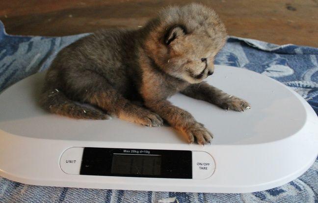 Nantes: Naissance exceptionnelle de cinq bébés guépards à Planète Sauvage