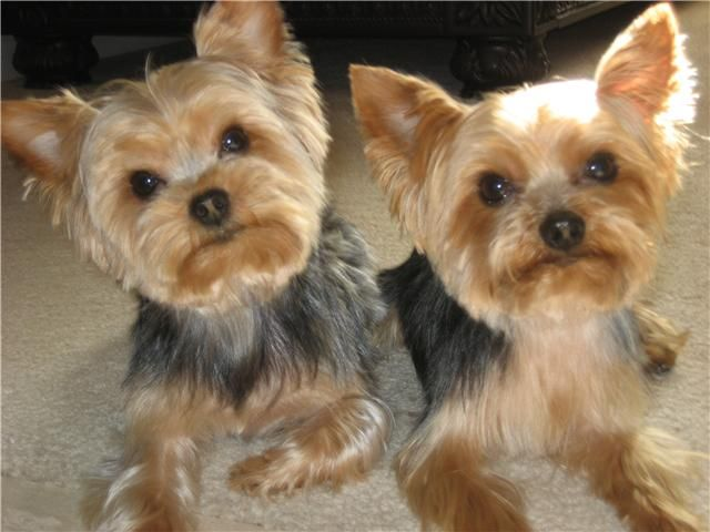 Yorkie Grooming | Zoey's Friends & Relatives! | Pinterest