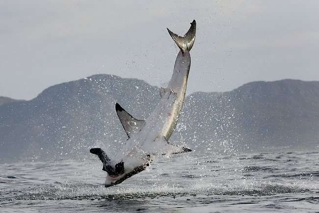 Great White breach in False Bay Cape Town, South AFrica
