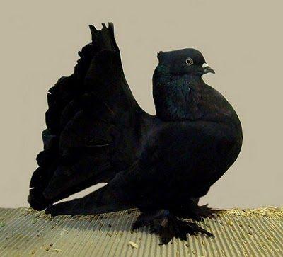Black Indian Fantail Pigeon
