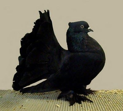 Black Indian Fantail Pigeon