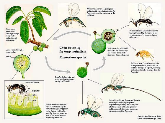 what are healthy fruits fruit fly life cycle