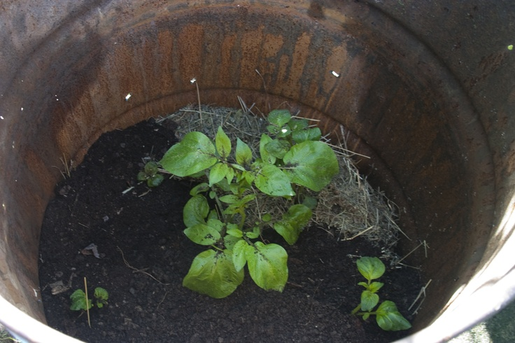 Un bidone di Patate.Ecco il nostro Esperimento di Permacultura. Si pianta una o più patate in un bidone, man mano che la pianta cresce si rincalza finché il bidone si riempie di patate. Ideale per chi non ha spazio, per chi fa l'orto sul balcone, per chi ama sperimentare. #Patata #Potato