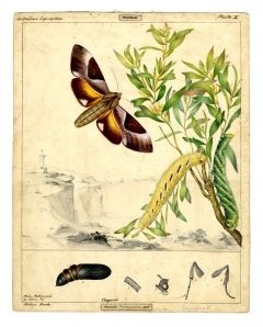 Double-headed Hawk Moth
