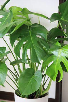Philodendron - Pflanzen die auch schattige Ecken gerne mögen.