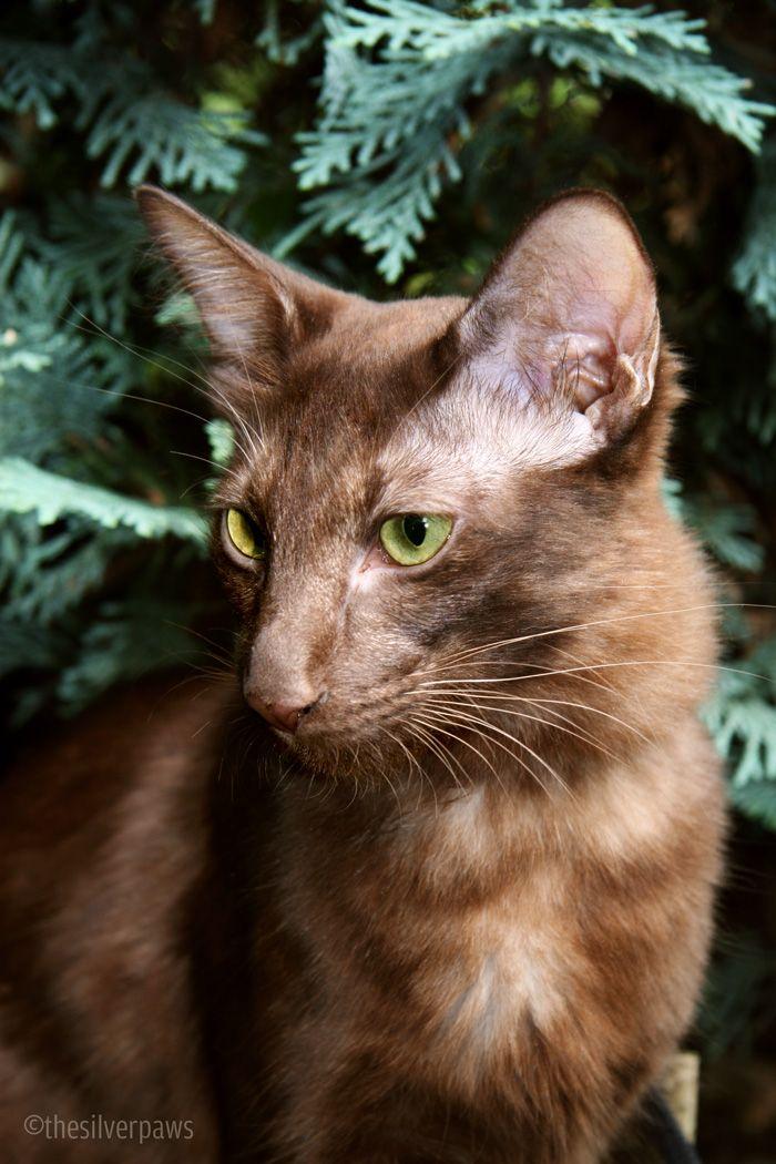 Sambucca — Oriental Longhair, chocolate smoke Cats