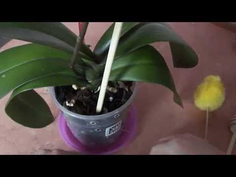 Когда поливать орхидею. Как определить высох ли субстрат When watering orchids - YouTube