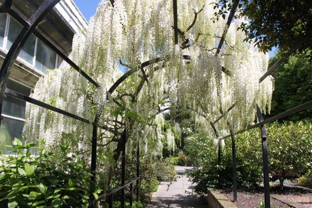 Wisteria- Christchurch Botanic Gardens New Zealand