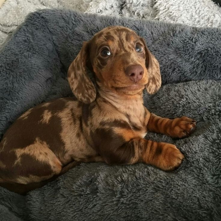 Dapple Dachshund Dapple Dachshunds Dapple Pet Dapple Pets Dapple