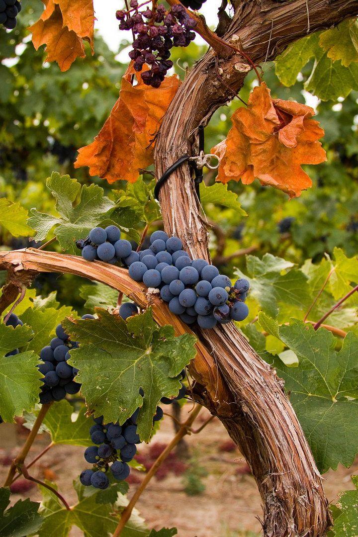 Harvest Time!!! - Vineyard near Kelowna B.C #Osoyoos