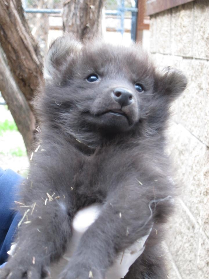 Fantastic Wolfbear Chubby Adorable Dog - 8d71cfe3efdd6bd2433c70bb6534e7bc--maned-wolf-bear-puppy  Snapshot_714013  .jpg
