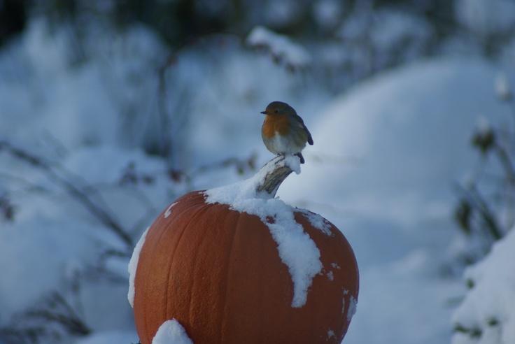 In de winterse tuin van Theeschenkerij The Wisple zie je roodborstjes hun kostje bij elkaar scharrelen.