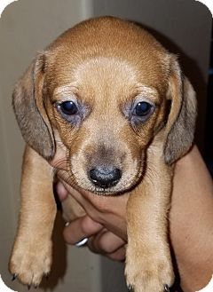 Pictures of Mini a Dachshund for adoption in Surprise, AZ who needs a loving home.