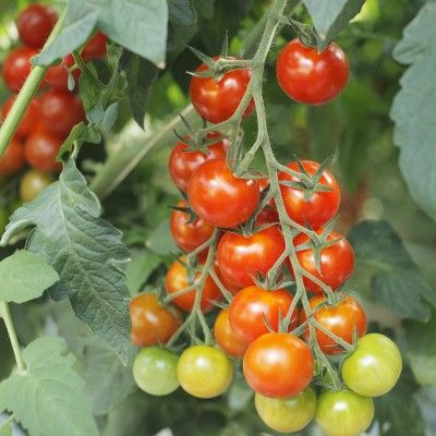 How to Grow Tomatoes in an Organic Garden. I'd like to try