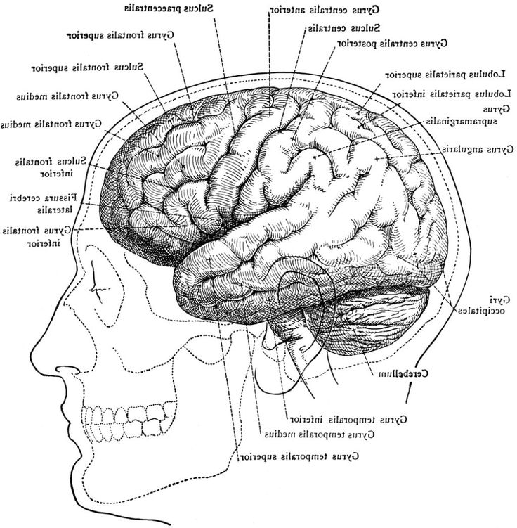 best 25 human brain diagram ideas on pinterest brain. Black Bedroom Furniture Sets. Home Design Ideas