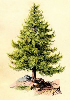 Vintage Clip Art - Perfect Pine Tree - The Graphics Fairy