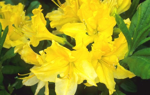 Lemon lights azalea 1m high wide northern lights for Soil yellow color