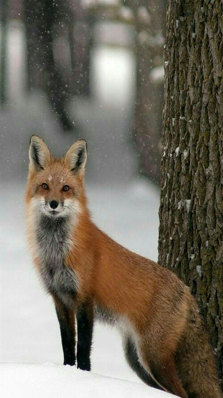 Heavenly Red Fox in winter.