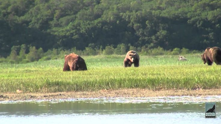 Katmai Alaska Grizzly Bear Viewing in HD. Kingdom of the Grizzlies with ...