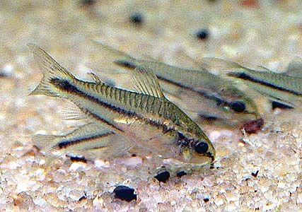 Corydoras pygmaeus - Pygmy Cory 1.5cm - $11.50 : Second Nature Aquariums, Live Fish & Plants Delivered Australia Wide