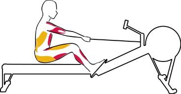 The Recovery row #4   The triceps engage to push the arms forward and away from the body. The abdominals flex the torso forward, and the hamstrings and calves contract as you slide up to the catch.