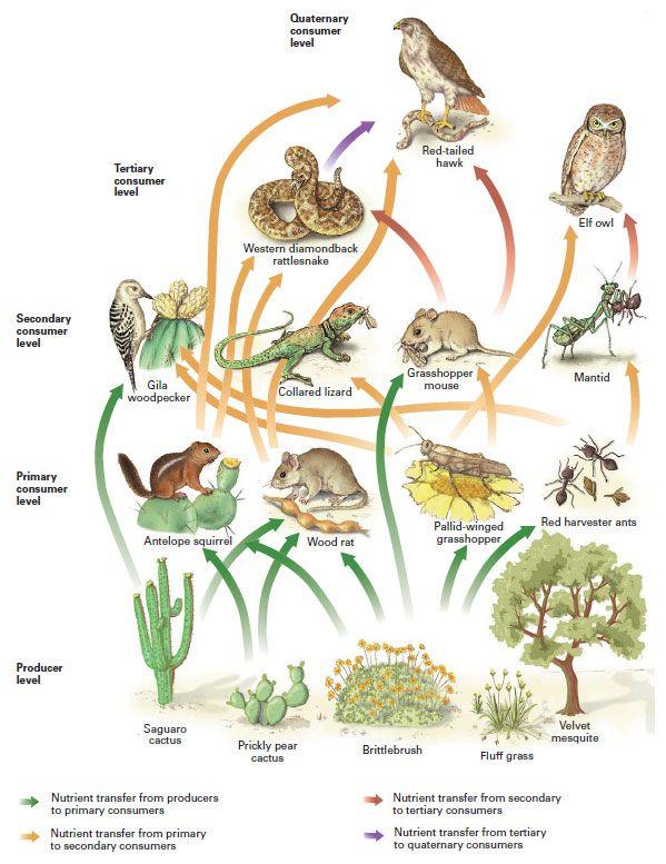 Desert Food Web | Desert  Gardner APES | Desert biome, Food chain activities, Desert ecosystem