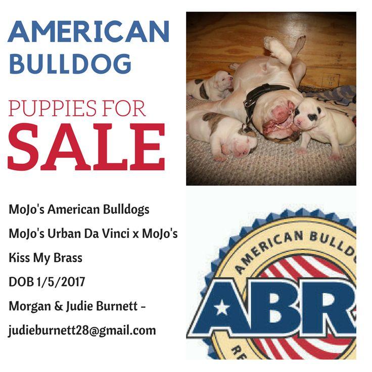 MoJo's American Bulldogs MoJo's Urban Da Vinci x MoJo's Kiss My Brass DOB 1/5/2017 Morgan & Judie Burnett - judieburnett28@gmail.com  http://www.abra1st.com/puppies-for-sale/  American Bulldog Puppies For Sale