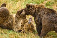 el tesoro más importante de nuestra fauna salvaje es el oso. Animal mítico en nuestra montaña, estuvo al borde de la extinción pero parece que su supervivencia comienza a repuntar y,últimamente, se ha visto un macho en las cercanías de Polvoredo. Es uno de los animales más grandes que viven en nuestros bosques. Pueden llegar a medir entre 170 y 270 cm, con un peso de más de 700 Kg. Si bien el peso varía.