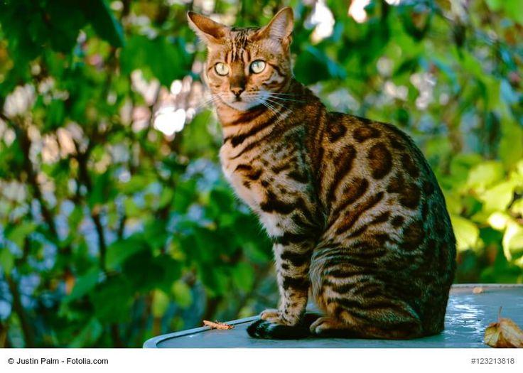 ★ Der Steckbrief über die beliebte Katzenrasse Bengal mit Bildern, allen Informationen zur Rasse, dem Wesen und der Herkunft. ★