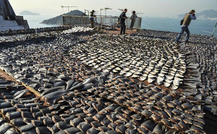 España es el mayor proveedor europeo de aletas de tiburón | España es actualmente el primer proveedor europeo de aletas de tiburón para el mercado asiático (muy utilizadas en la cocina oriental). Un horror.