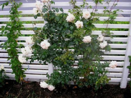 Rosor, Kaprifol och andra klängväxter