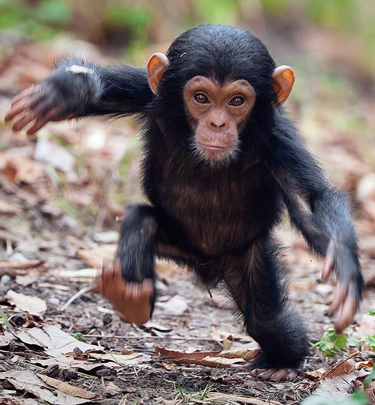 An unsteady baby chimp takes steps away from his mother at a zoo.  - photo by Konrad Wothe