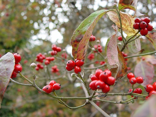 Red dogwood berries in the fall....love it:)