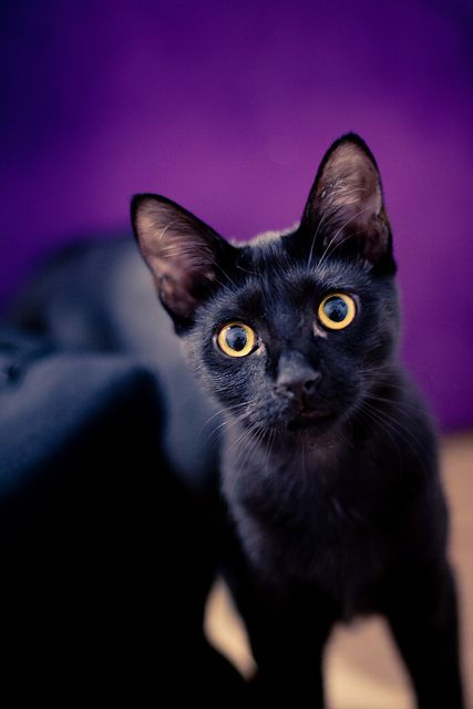 Beautiful black cat. The Neonwoman