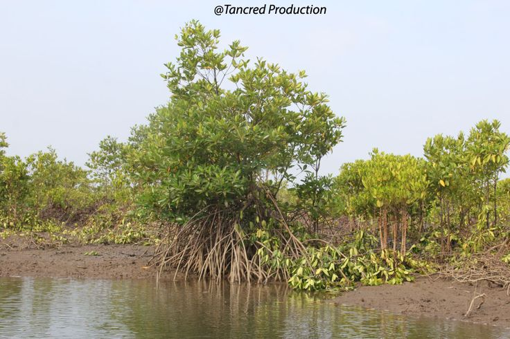 Mangroves, tidal marshes and sea-grasses are critical along the world's coasts, supporting coastal water quality, healthy fisheries, and coastal protection against floods and storms.