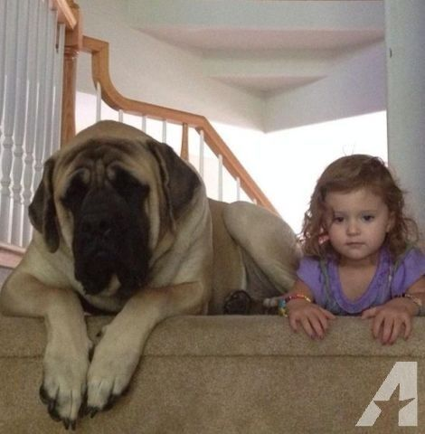 AKC English Mastiff Puppies Champion Lines Amazing Companions for ...