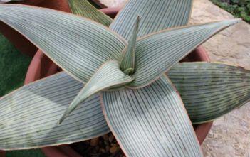 Aloe striata subsp.  karasbergensis - Karasburg Coral Aloe