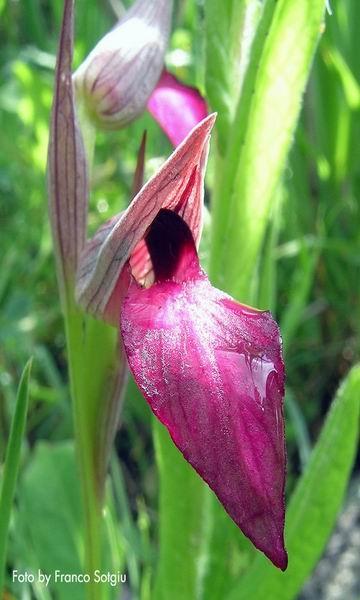 #laconi.   Orchidee